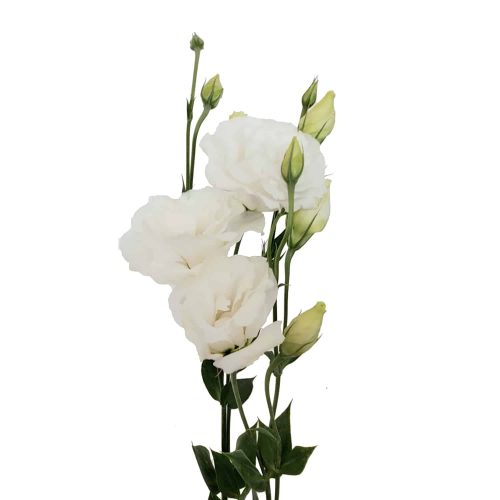 white-lisianthus-flower