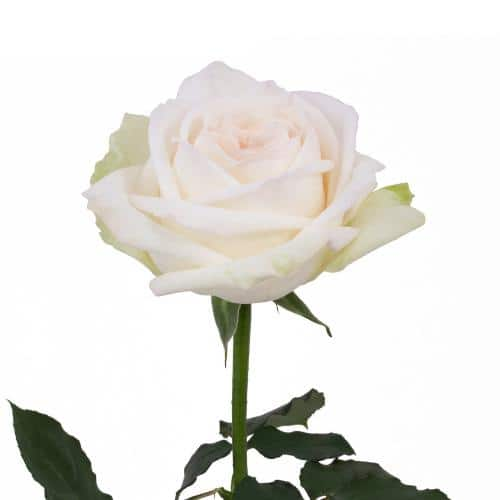 white-ohara-garden-rose-side-view