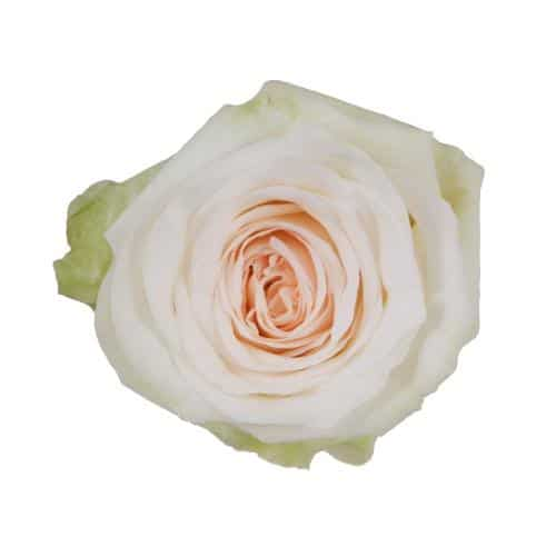 white-ohara-garden-rose-top-view-500-500