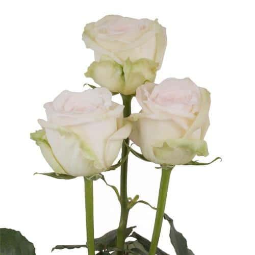 white-ohara-garden-roses-side-view
