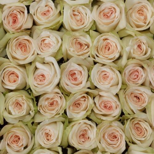 white-ohara-garden-roses-top-view