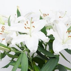white-oriental-lily-flower