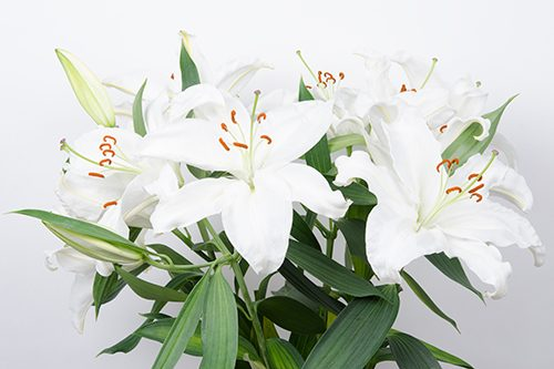 White Oriental Lily Flower Wholesale Flowers In Bulk Jr Roses