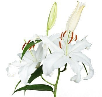 white-oriental-lily