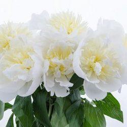 white-peony-flower