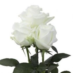 white-roses-wholesale