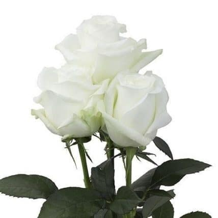white-roses-wholesale