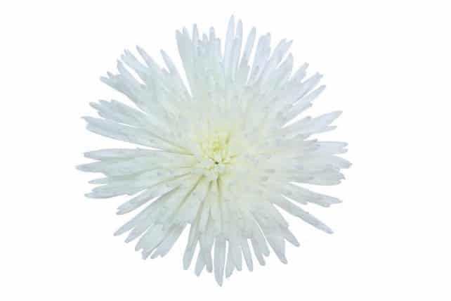 white spider mum flowers