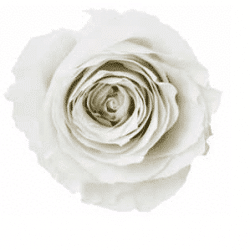 white preserved rose