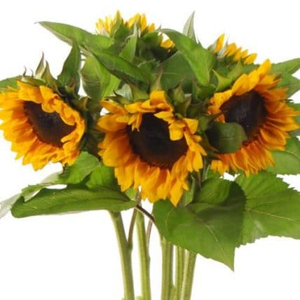 wholesale Sunflowers