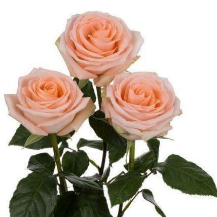wholesale peach roses