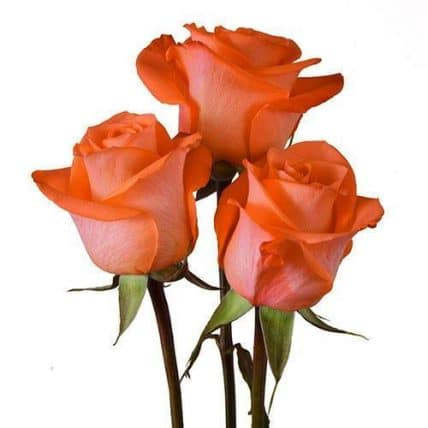 wholsale Coral roses