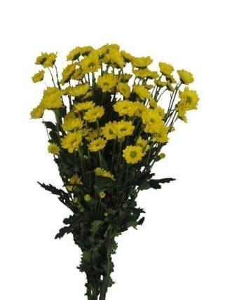 yellow pom pom flower