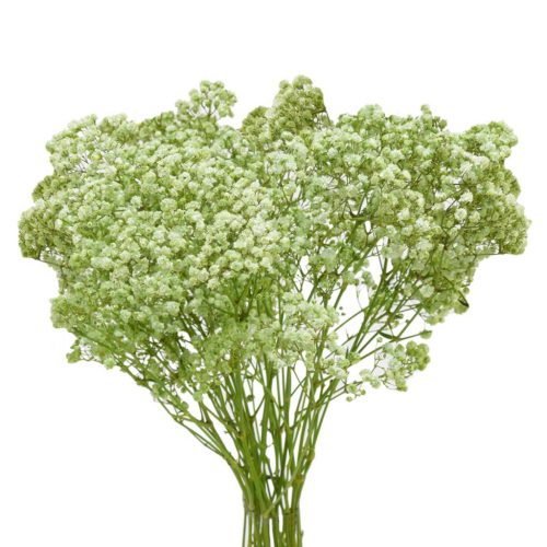 green baby's breath