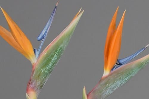 Birds-of-Paradise-flowers