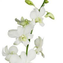white-dendrobium