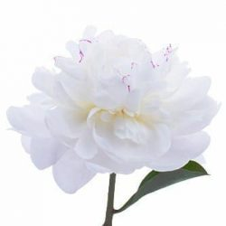 Festiva-Maxima-white-peony