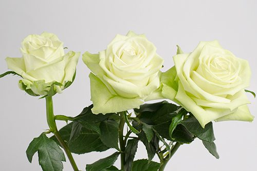 Green-Tea-roses