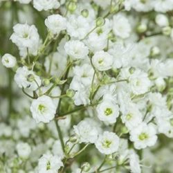 Million-Star-babys-breath