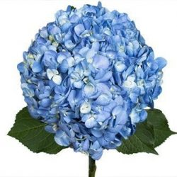 Shocking-Blue-hydrangea