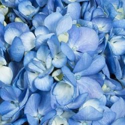 Shocking-Blue-hydrangea-flower