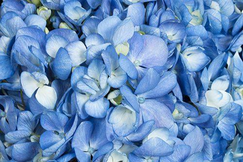 Shocking-Blue-hydrangea-flower