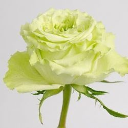 Super-Green-garden-rose