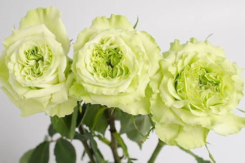 super-green-garden-roses