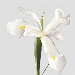 White-Iris-flower