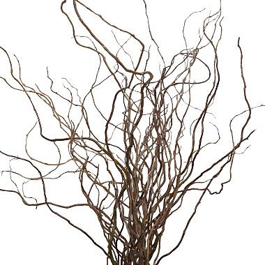 curly-willow-branch