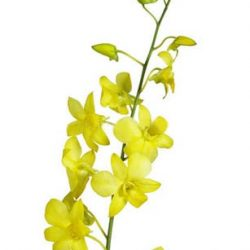 dyed yellow dendrobium orchid