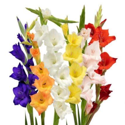 gladiolus-flower