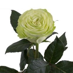 green-garden-rose-side-view