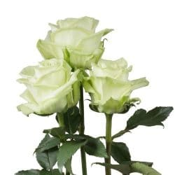 green-tea-roses-side-view