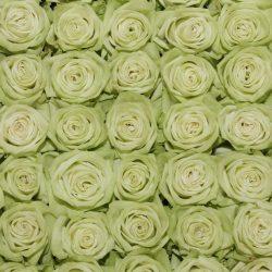green-tea-roses-top-view
