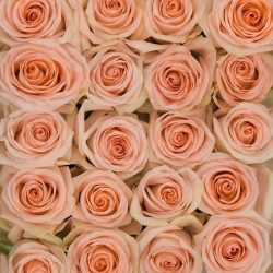 peach-roses-top-view