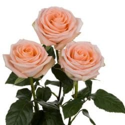 peach-roses-side-view