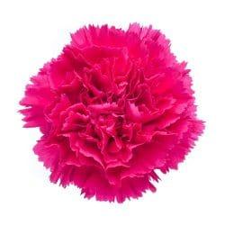 hot pink carnation