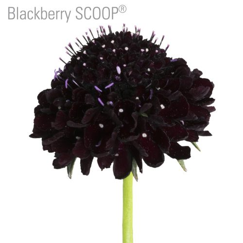 Black-berry-scabiosa