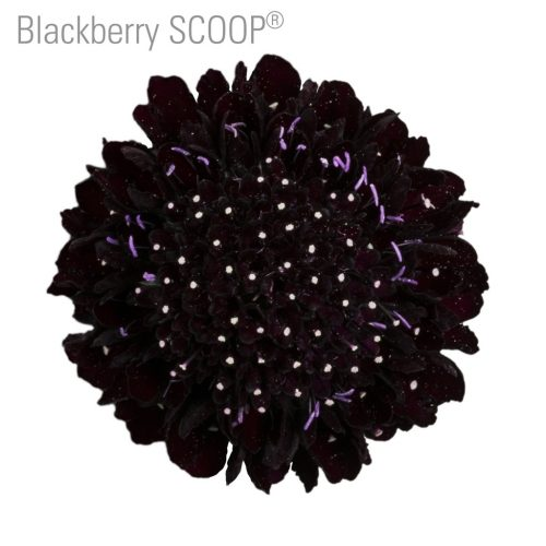 scabiosa-flower-black
