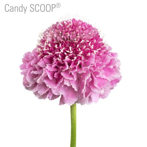 pink-scabiosa