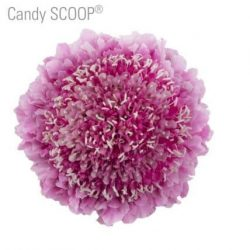 Pink-Scabiosa-flower