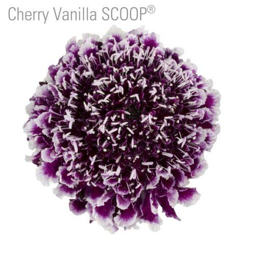 Scabiosa-flower-cherry-vanilla