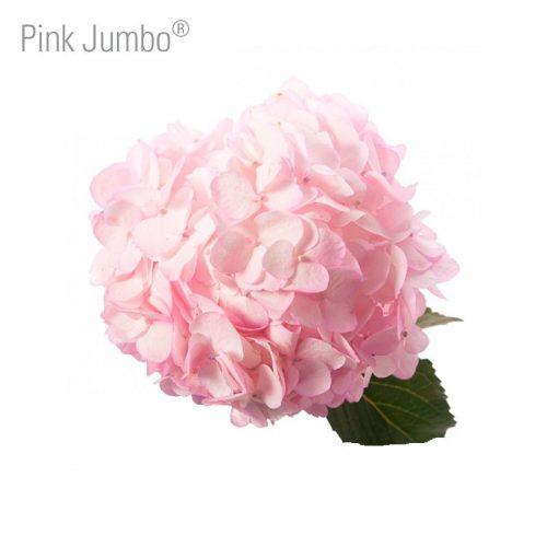 jumbo-pink-hydrangea