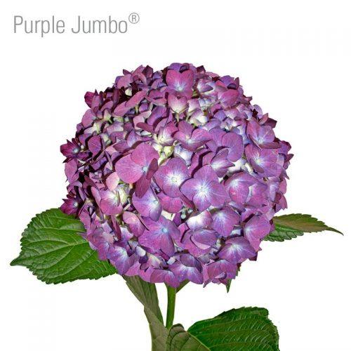 jumbo-purple-hydrangea