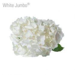 Jumbo-white-hydrangea