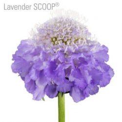 lavender-scabiosa