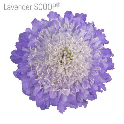 Lavender-scabiosa-flower