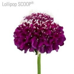 scabiosa-lollipop