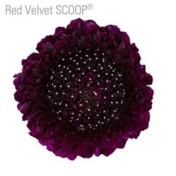 Red-velvet-scabiosa-flower